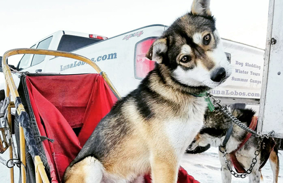 best-park-city-activity-luna-lobos-dog-sledding
