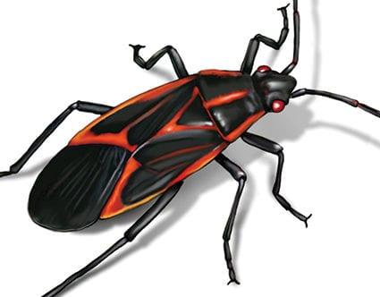 pest-elimination-park-city-box-elder-bug-removal