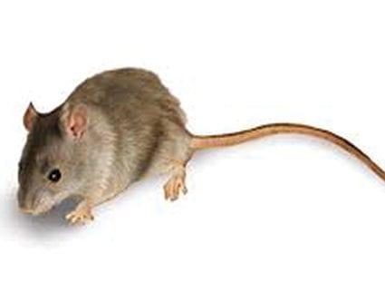 pest-elimination-park-city-mice-removal