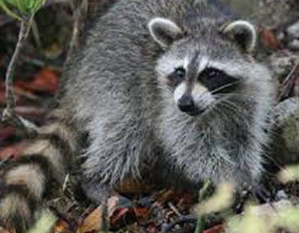 pest-elimination-park-city-raccoon-removal