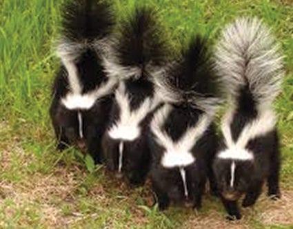 pest-elimination-park-city-skunk-removal