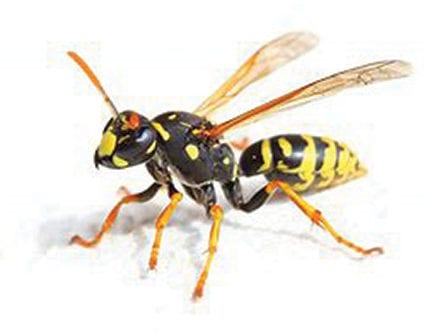 pest-elimination-park-city-wasp-removal