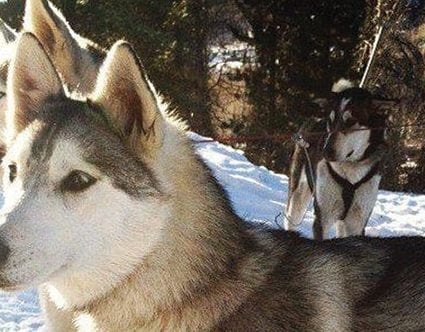 utah-luna-lobos-dog-sledding-tours